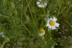 Camomile, chamomile. Camomile meadow, daisy meadow Stock Photo