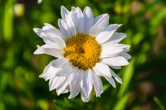 Camomile, close-up. Camomile close-up on blurred background Royalty Free Stock Photography