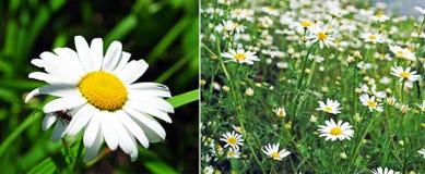 Camomile collage Stock Photo