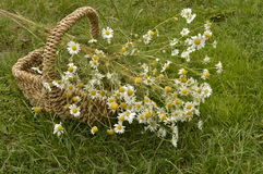 Camomile. Collected for drying in decorative wicker basket royalty free stock image