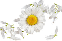 Camomile concept Stock Photo