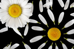 Camomile concept Stock Photography