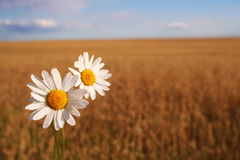 Camomile on the corn field. With nice blue sky Royalty Free Stock Images