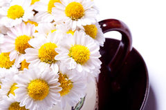 Camomile in a cup on a saucer. Stock Photos