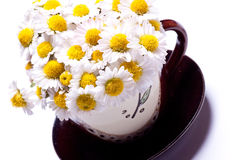 Camomile in a cup on a saucer. Stock Image