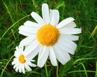 Camomile. Daisy field on a background of green grass Stock Photography