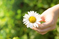 Camomile daisy flower in hand. Camomile daisy flower in female hand royalty free stock image