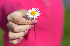 Camomile daisy flower in female hand. royalty free stock photo