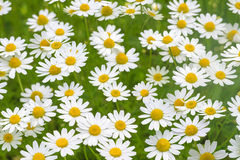 Camomile daisy flower field natural background texture Stock Photo