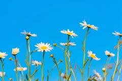 Camomile daisy flowers against the blue sky Stock Image