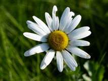 Camomile Daisy Single flower on a grass background. Beautiful Camomile Daisy Single flower on a grass background Stock Photo
