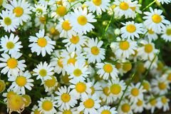 Camomile daisy field natural horizontal background texture for beauty, health. Camomile daisy sunny field natural horizontal background texture for beauty royalty free stock image
