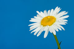 Camomile with dew drops. It is isolated on a blue background Stock Photos