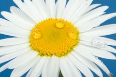 Camomile with dew drops. It is isolated on a blue background Stock Image