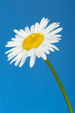 Camomile with dew drops. It is isolated on a blue background Royalty Free Stock Photo