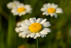 Camomile in early dew Stock Photo