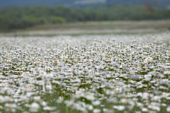Camomile field Royalty Free Stock Image