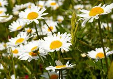 Camomile field Stock Photography