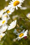 Camomile Field Royalty Free Stock Photography