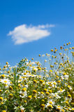 Camomile field on a background of blue sky.  Stock Photos