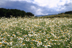 Camomile field and blue sky Royalty Free Stock Photos