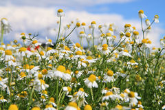 Camomile field and blue sky Stock Image