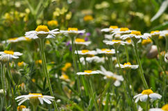 Camomile field Stock Images