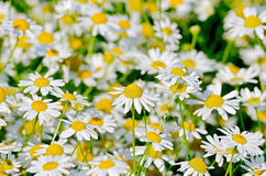 Camomile field Stock Photo