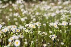 Camomile field. Many small chamomiles royalty free stock image