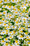 Camomile field medical Royalty Free Stock Image