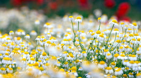 Camomile field. Stock Image