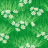 Camomile field seamless background Royalty Free Stock Images
