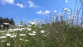 Through the camomile field stock footage