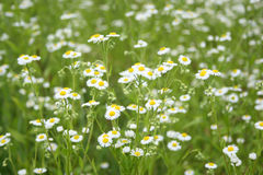 Camomile field Stock Image