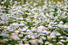 Camomile field. Field of white camomile flowers Royalty Free Stock Photo