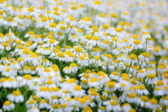 Camomile field. Field of white camomile flowers Stock Images