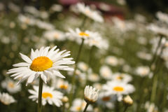 This is camomile fild Stock Images