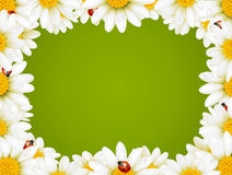 Camomile Floral Frame. Vector Camomile Floral Frame and ladybugs Royalty Free Stock Photo