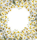 Camomile floral frame Stock Photo