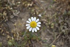 Camomile flore radiating uniform petals. Camomile with white symmetrical petals stock photography