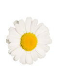 Camomile flower Royalty Free Stock Image