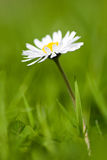 Camomile flower. On fresh green grass background Stock Images