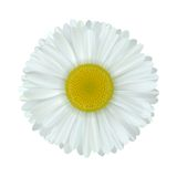 Camomile flower. Vector camomile flower isolated on white background Stock Photography