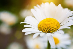 Camomile flower Royalty Free Stock Photo