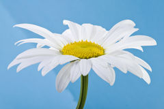 camomile flower 免版税库存图片
