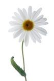 Camomile flower stock photo