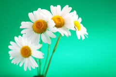 Camomile flower Royalty Free Stock Images