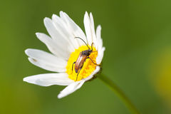 Camomile flower and Beetle Stock Photos