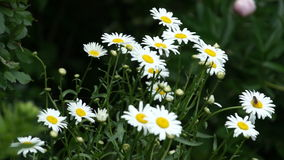 Camomile flower bloom in garden. Camomile flower bloom and garden stock footage
