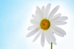 Camomile flower on blue Stock Photography